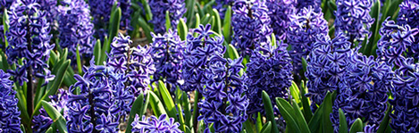 hyacinth wedding